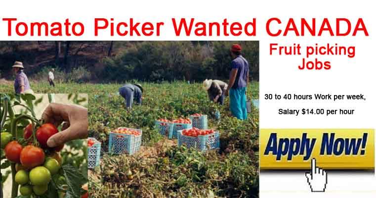 Tomato Picker Jobs in CANADA 2019