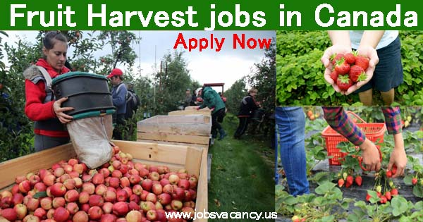 Fruit Harvest jobs Canada for foreigners